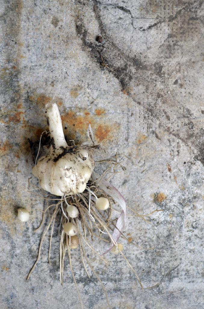 wild onion bulb