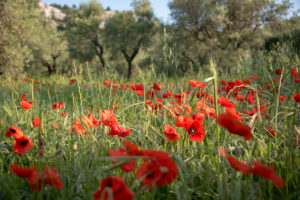 poppies provence